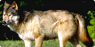 Vancouver Island Wolf