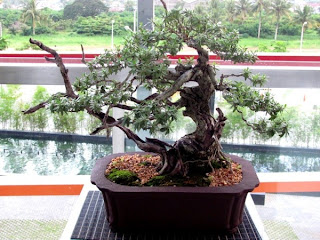 Bonsai, Mindanao, Desmodium, SM Lanang Premier, Kadayawan Festival, Home and Garden, Informal upright, Triple trunk, Cascading, Literati, Rock clasping, Slanting, Raft, One sided, Clump, Broom
