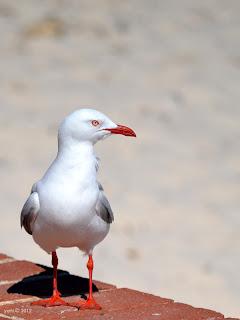 gull profile