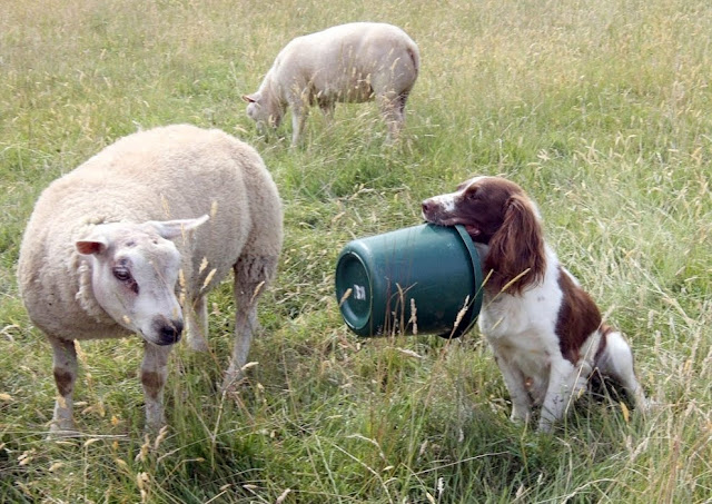 A sheepdog bottle-feeding baby lamb, Jess brings bucket