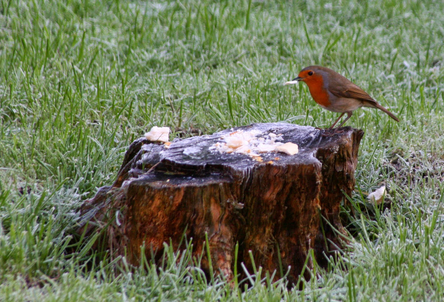 Robin eating bread from our stump