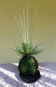 Kokedama Syngonium (Mikado)