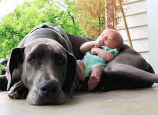 In nove si contendono il titolo di cane più grande del mondo
