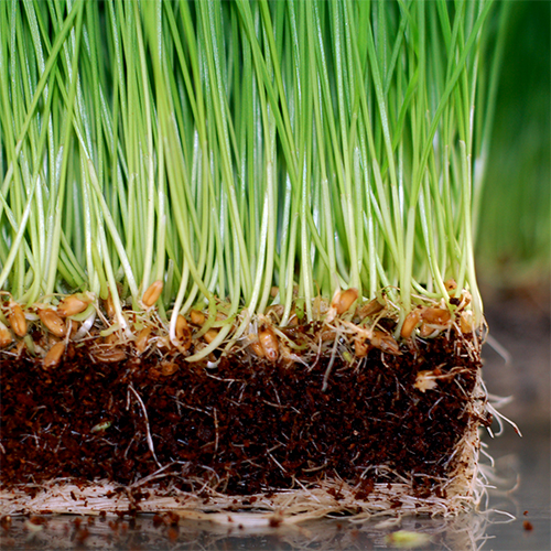 how to grow wheatgrass in soil