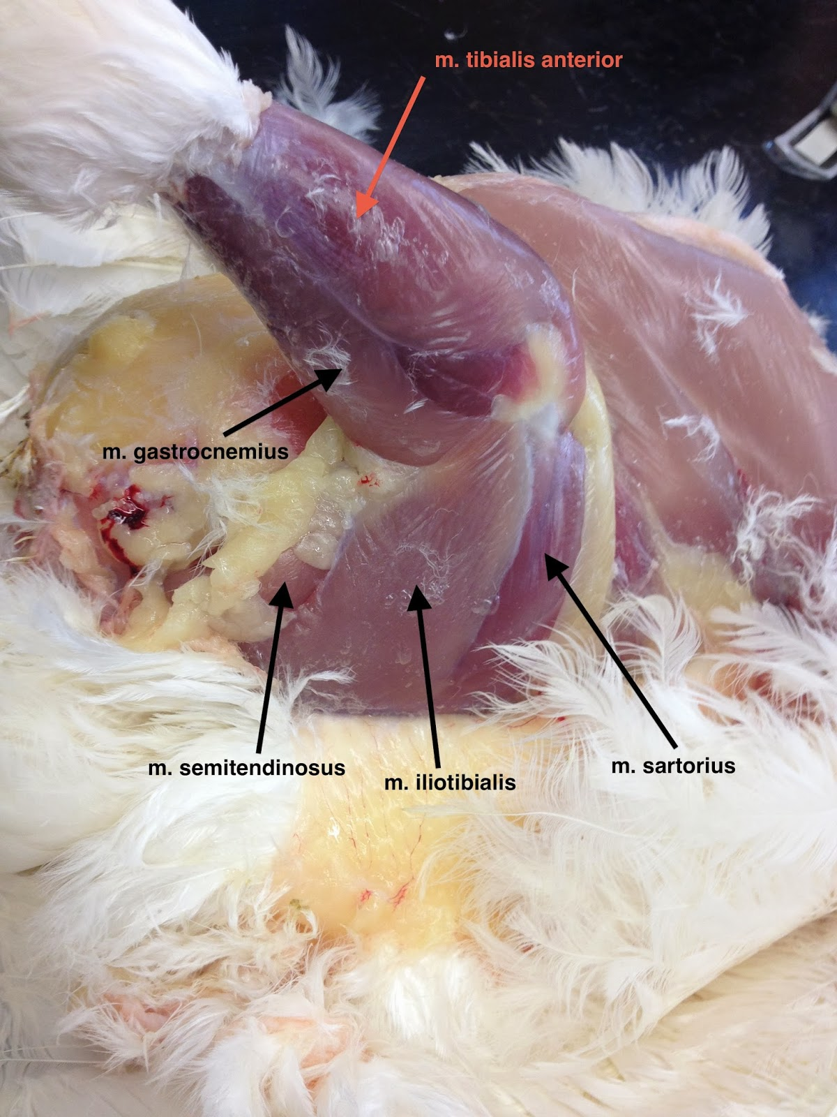 Animal Science Chicken Dissection Musculature Wing Anatomy Diagram The Body Abdominal Muscles