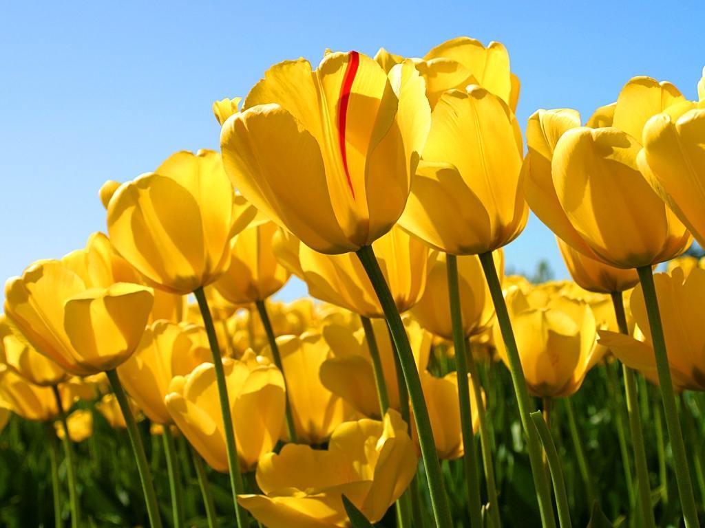 http://4.bp.blogspot.com/-2Lyq4Caxy6I/TY_n9TBKwHI/AAAAAAAAACI/gE432NVlY-I/s1600/Yellow%252520Tulips.jpg