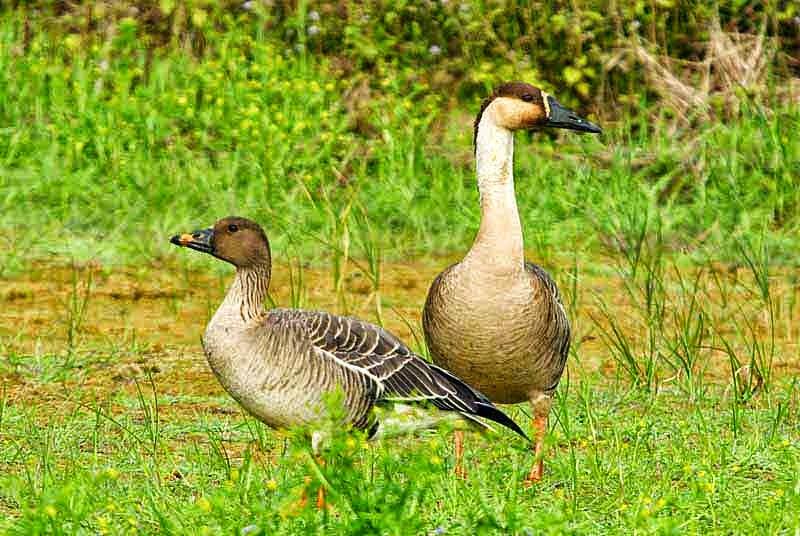 Swan Goose, Bean Goose, image
