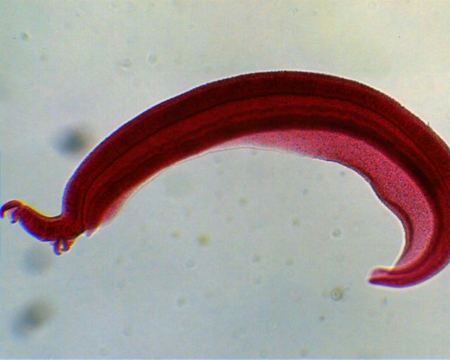 schistosoma mansoni tegument proteins Schistosoma mansoni genome, published in 2009 [3] described 11809  the  tegumental protein, sm226 and its homologue in s japonicum.