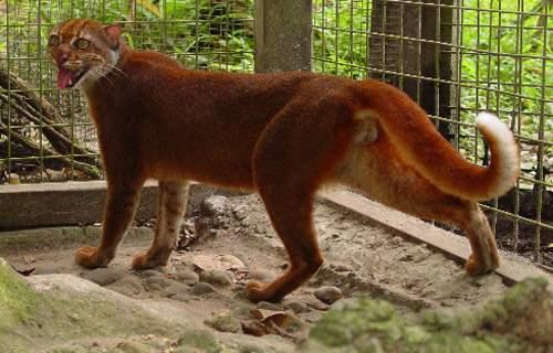 Gambar Binatang: Kucing Merah