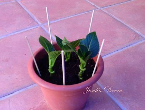maceta-con-esquejes-hortensia-brochetas