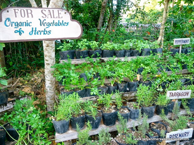 herbs in Bee Farm Panglao Island Bohol