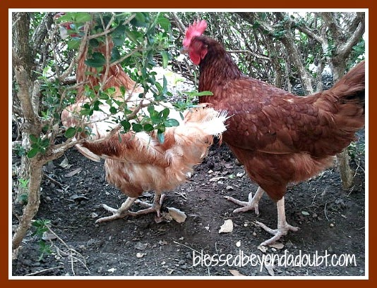 great pets chickens are very affectionate and mature quicker
