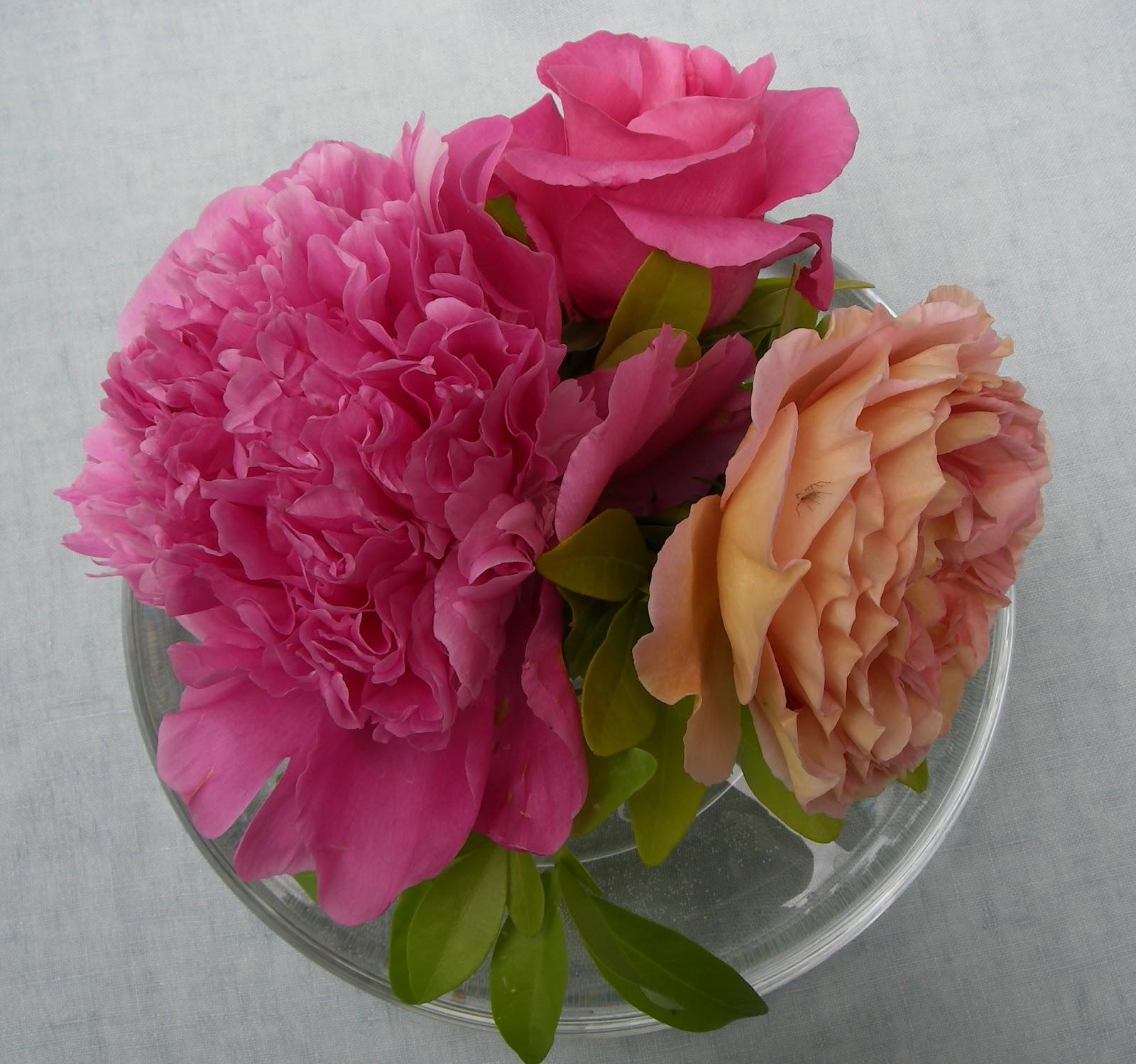 Pivoine arbustive , roses