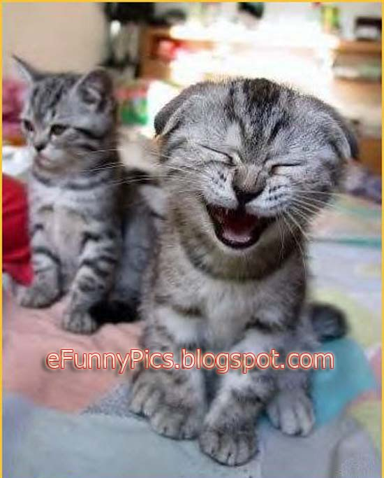 Funny Laughing Kitten