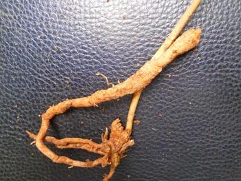creeper of Asparagus racemosus or Asparagus zeylanicus
