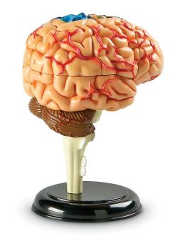 Brain Anatomy Model4