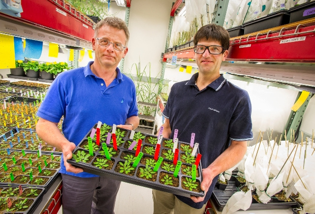 Henrik Scheller (left) and Dominque Loque, Joint BioEnergy Institute, shown here with Arabidopsis plants, are engineering plant cell walls to make the sugars within more accessible. Credit: Roy Kaltschmidt, Berkeley Lab