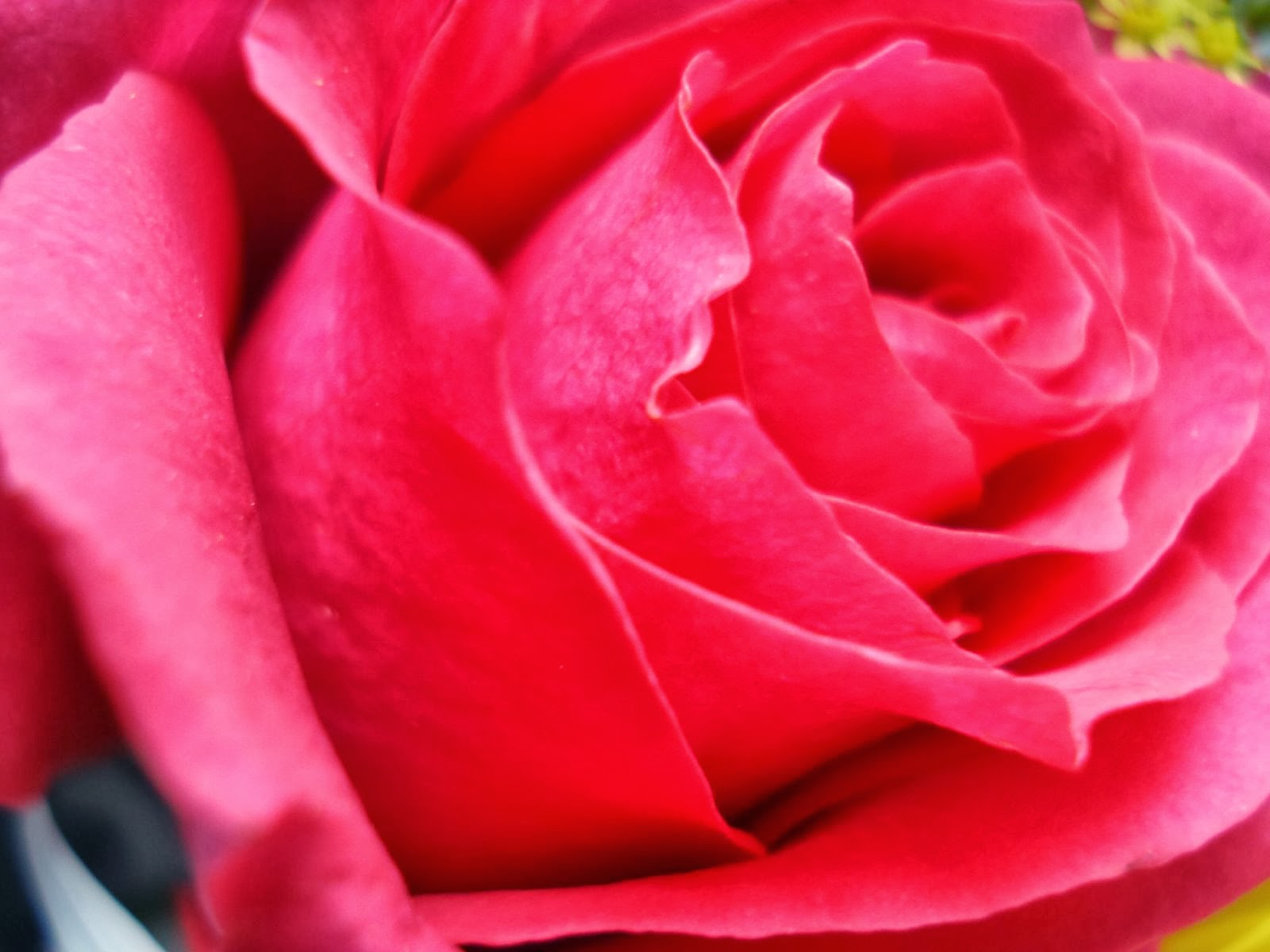 Very nice rose flowers wallpapers for lovers izmirmasajfo