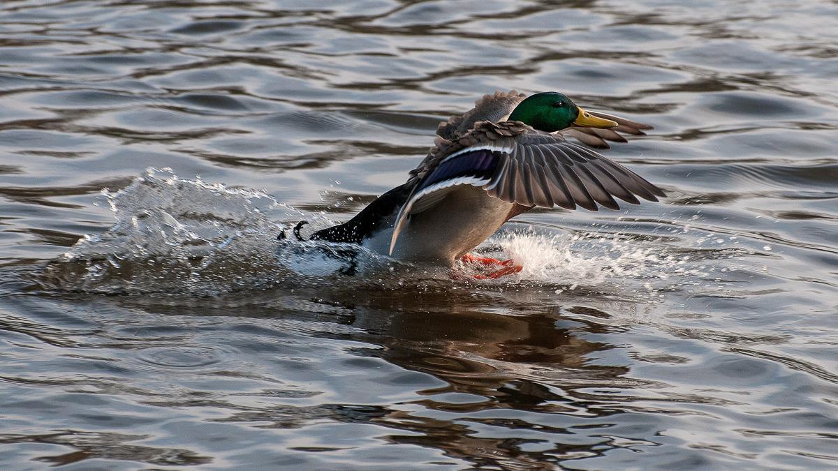 Ente bei der Landung