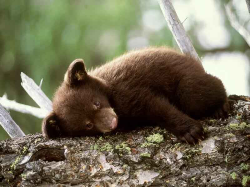 Species bears of usa bears australia bears canada bears france bears