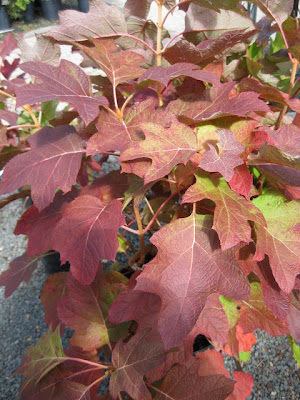 Alice oakleaf hydrangea fall color