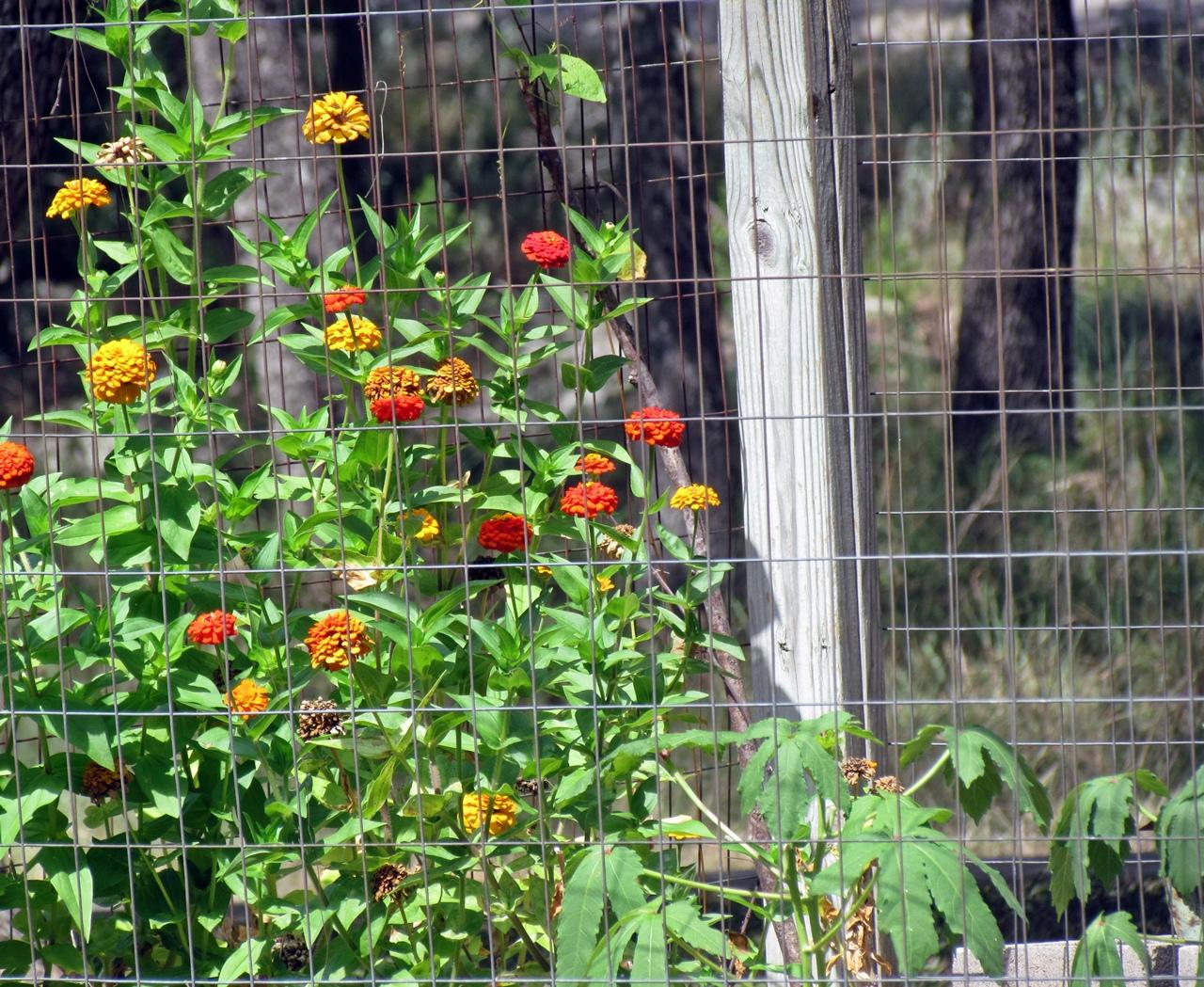 http://4.bp.blogspot.com/-2NDJ_BElm18/UC5h2Z7o1-I/AAAAAAAAHiE/K4a0ozV8Zik/s1600/zinnia+garden.JPG