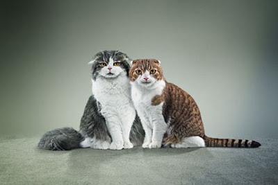 Scottish fold cats, the Baker & Taylor mascots