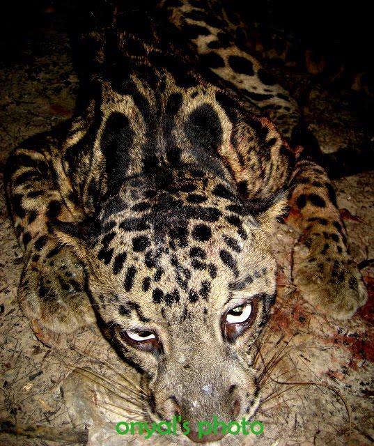 Gambar Aceh 2 Awetan Harimau Sumatera Macan Dahan Gading