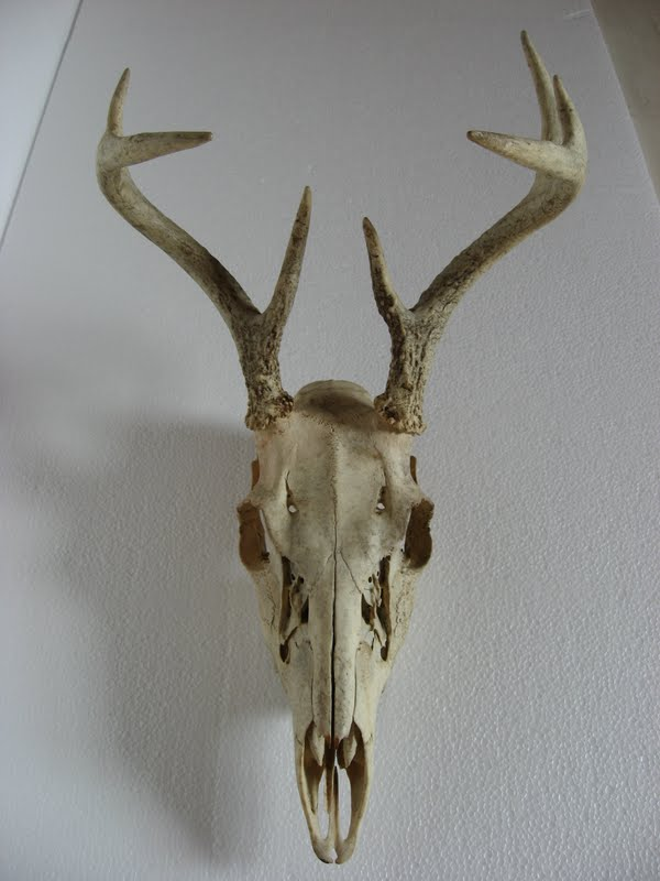 ... the skulls of deer and elks here are the images i worked from deer