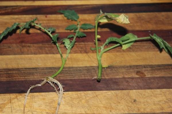 Perennial tomato plants