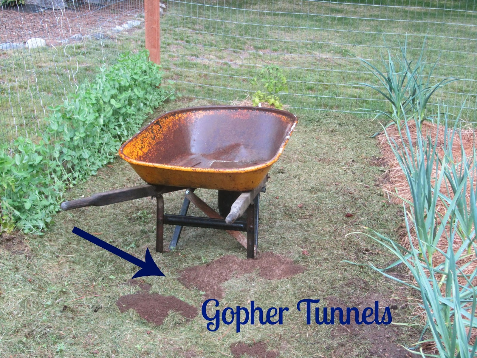 newly formed gopher tunnels in my North Idaho garden!