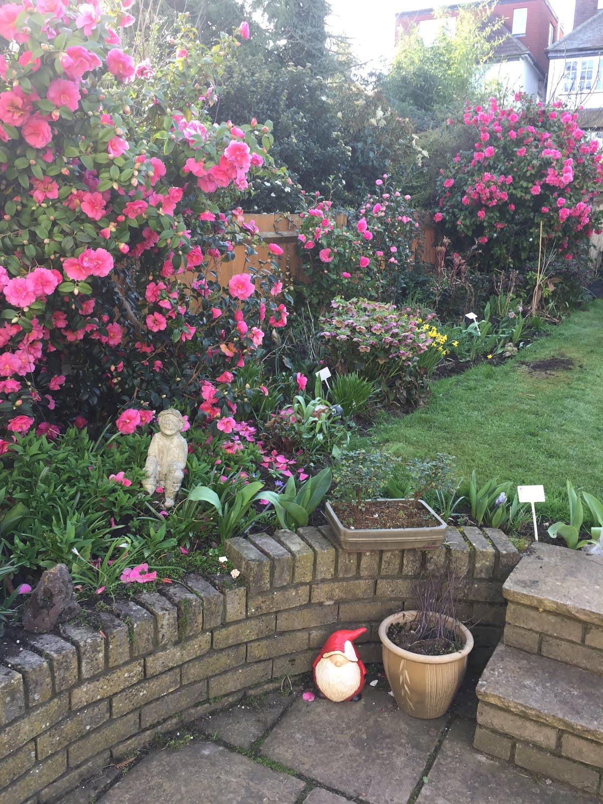 Camelias in the garden