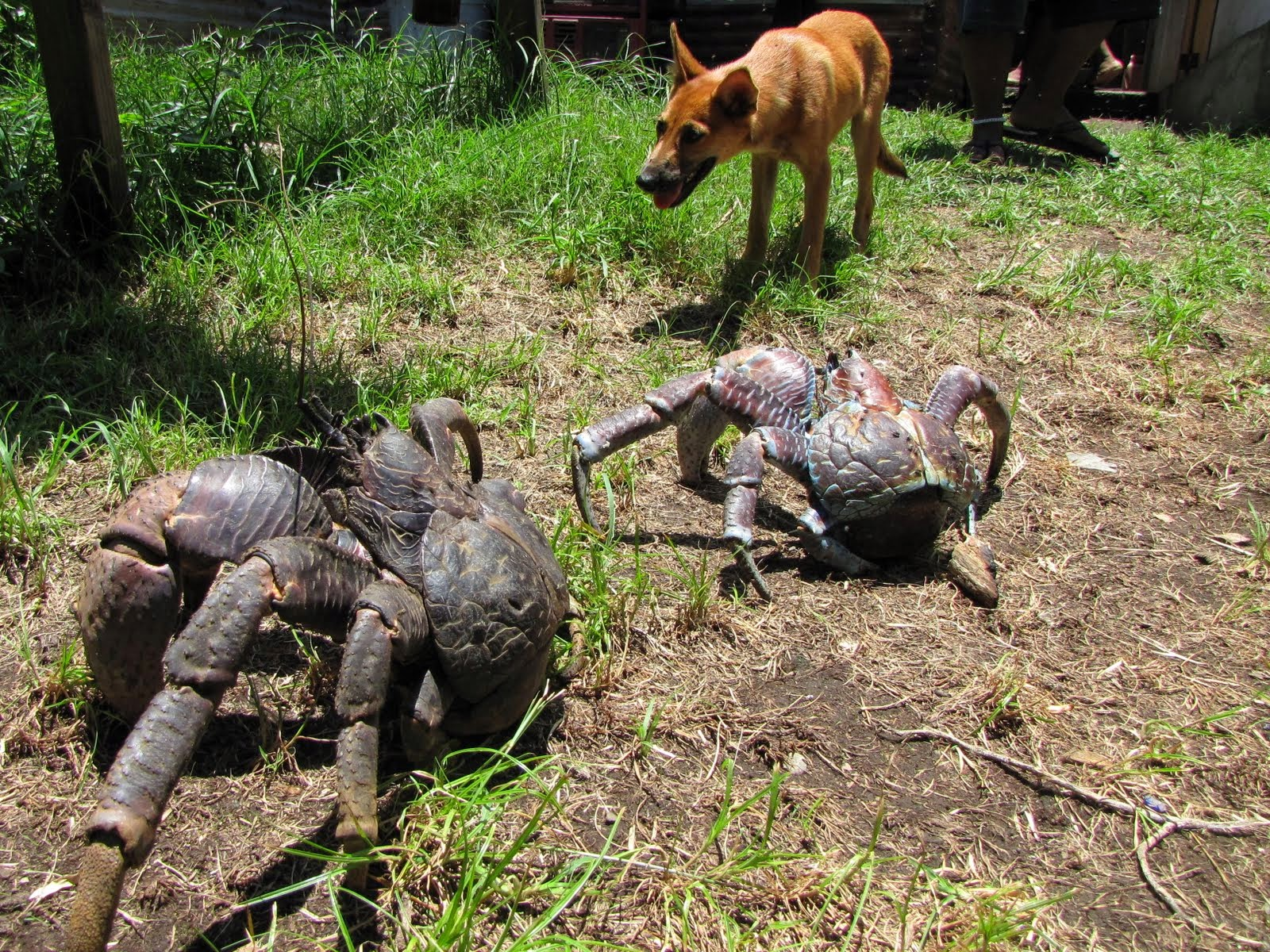 Coconut Crab or Camel Spider, which is Freakiest? ~ Viral ...