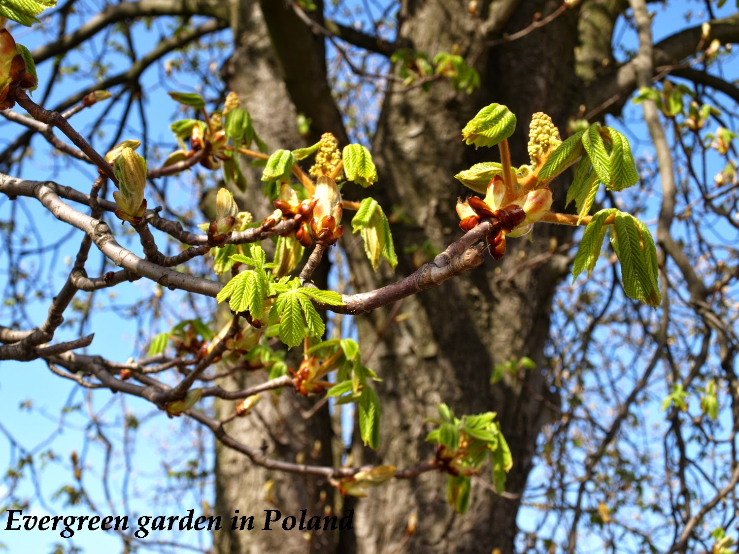 aesculus will start to bloom very soon