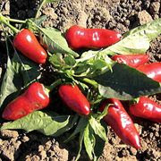 Pepper - Fresno
