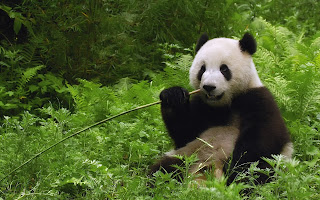Panda Eating Bamboo Plant HD Wallpaper