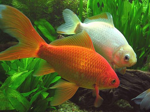 Peces exoticos de agua dulce para pecera peces de todas for Peces de agua fria koi
