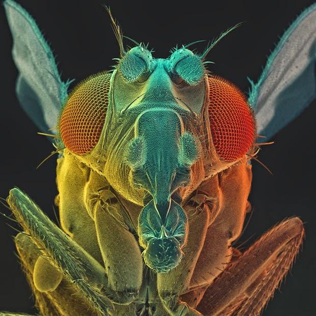 foto lalat buah drosophyla
