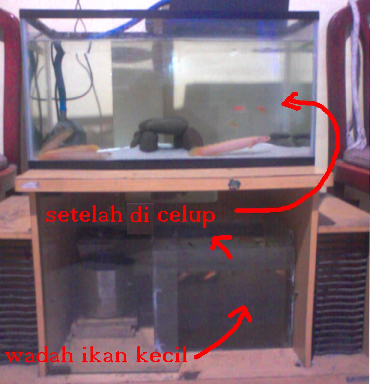Untuk Ikan Carnivora Yang Belum Terlalu Besar Makanan Bisa Di Potong Kecil Sebelum Taruh Akuarium