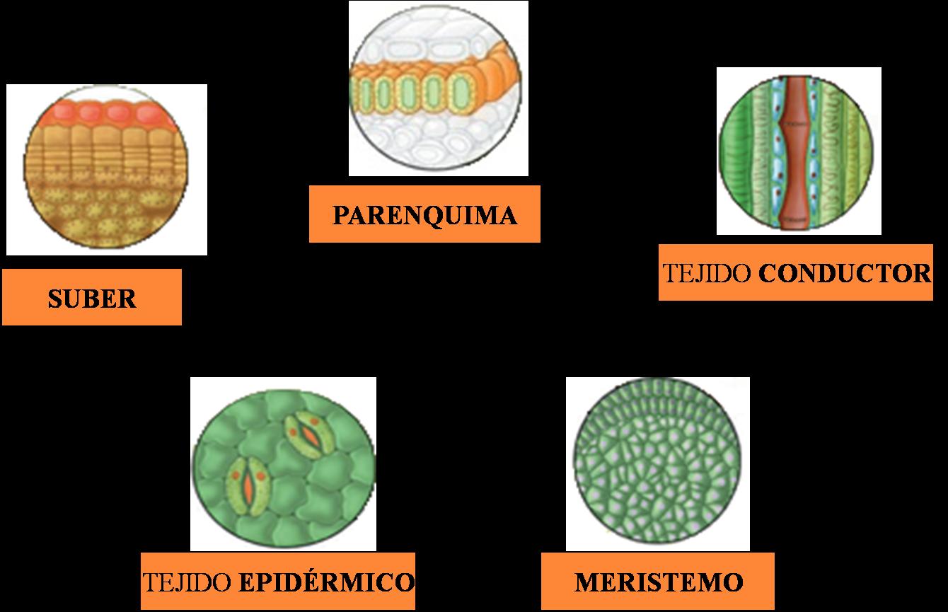 Ciencia tecnologia ambiente segundo los tejidos 2do de secundaria - Informacion sobre la fibra vegetal ...