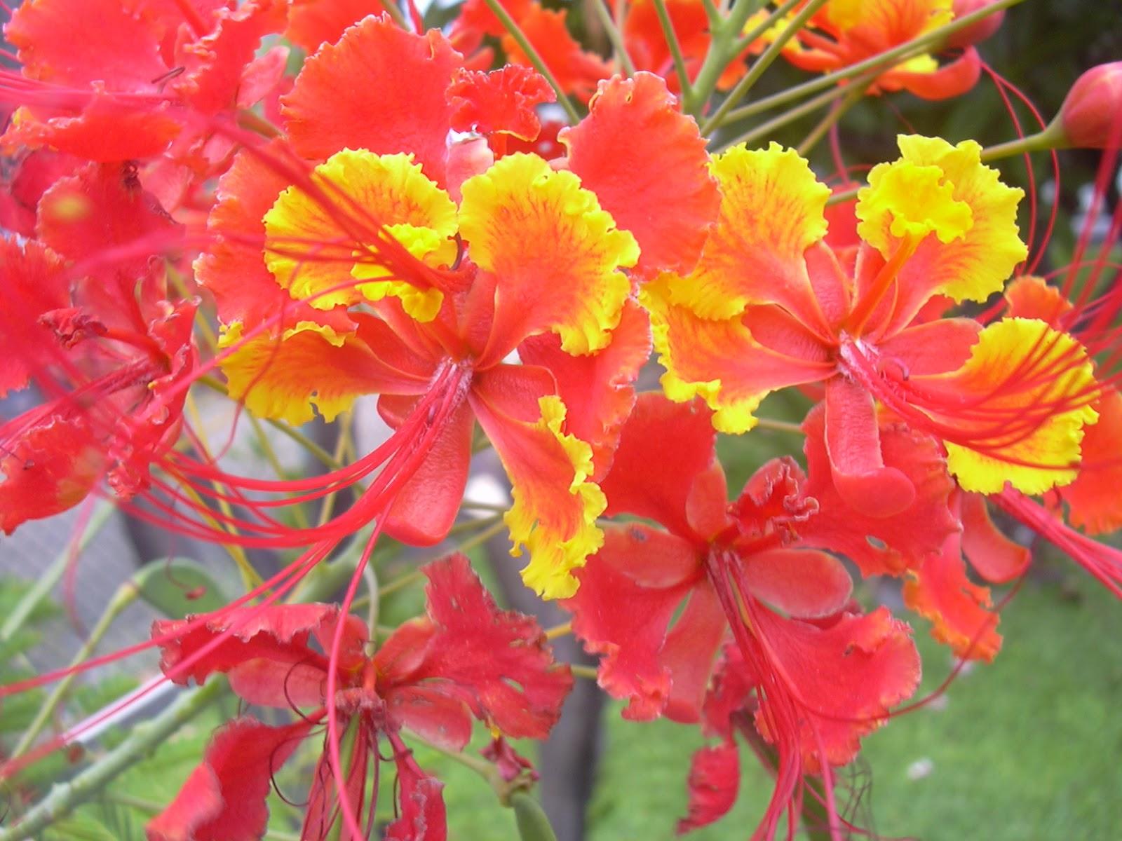 Morfologi tumbuhan praktikum vi bunga majemuk bunga merak caesalpinia pulcherrima swart ccuart Image collections