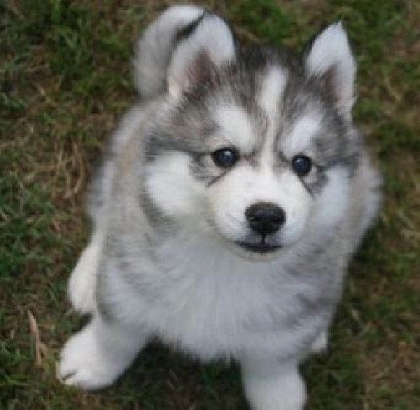dog of the week siberian husky all about dogs