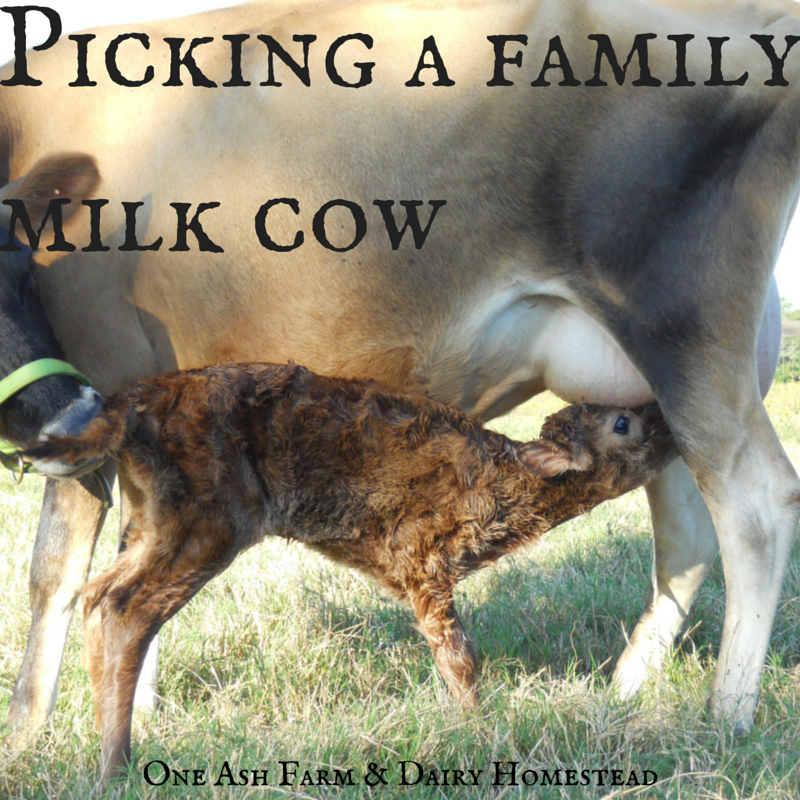 Milk Cow Png Picking a Family Milk Cow