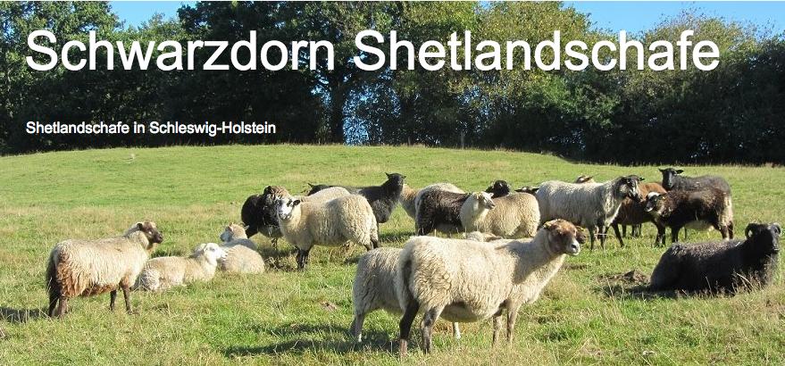 Ein Blog für unsere Shetlandschafe