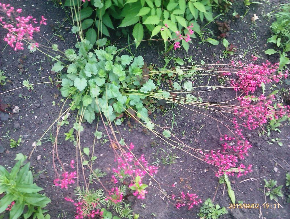 ... цветы ,многолетние цветы, фото цветов: zvetochkifoto.ru/razdeli/sadovie/tsveti-mnogoletnie-sadovie-foto.html