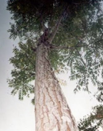 investasi pohon suren