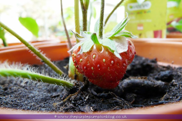 Grow Your Own Fruit & Veggies at The Purple Pumpkin Blog