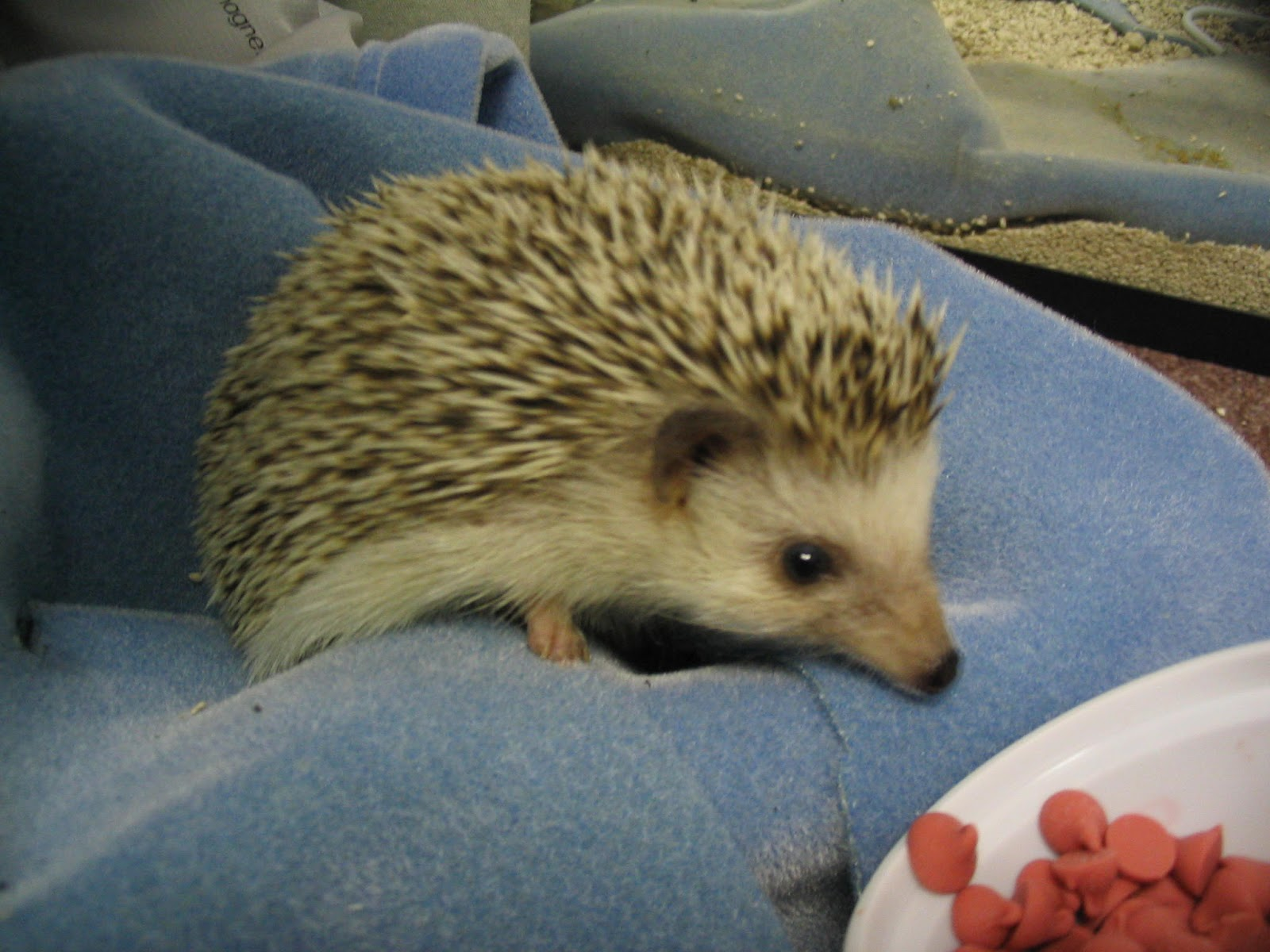 Hedgehogs For Sale In Kansas