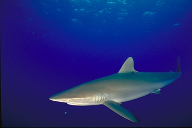 Silky shark - Simple English Wikipedia, the free encyclopedia