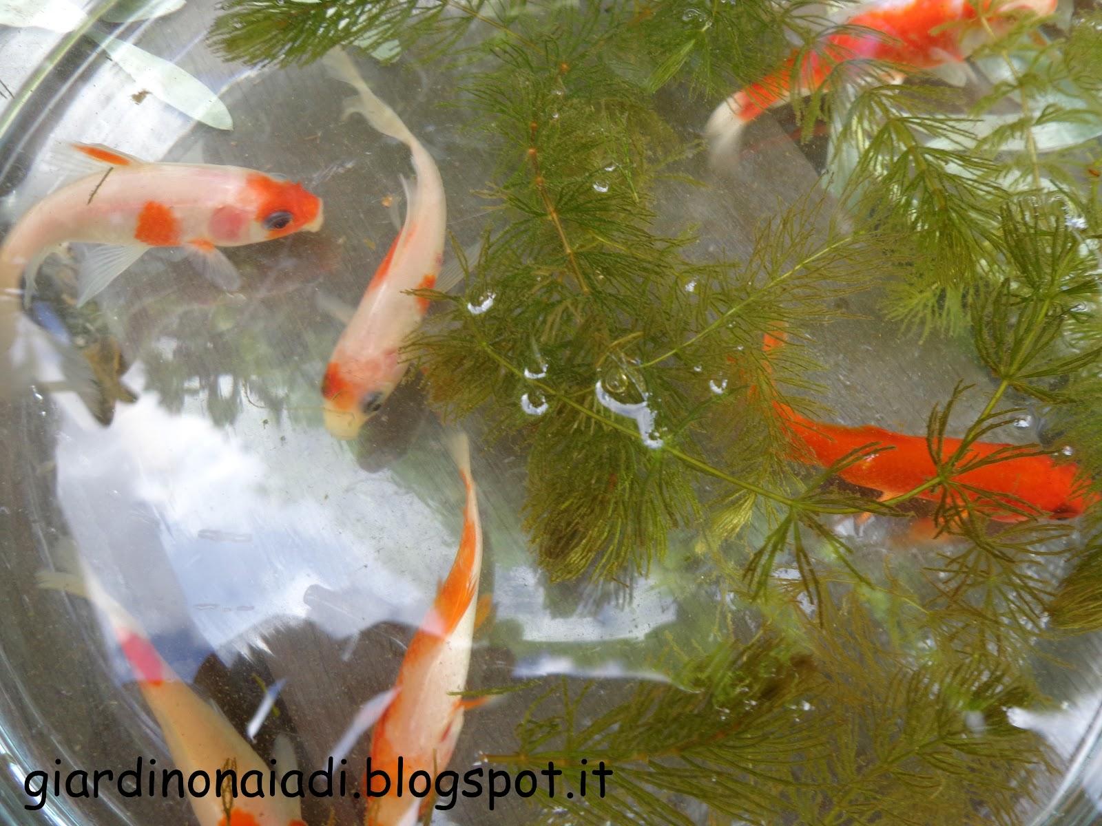 Il giardino delle naiadi carassius auratus pesce rosso for Contenitore per pesci